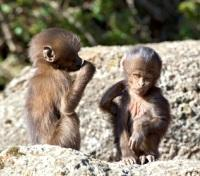 Treasures of Ethiopia Tours 2017 - 2018 -  Baby Gelada Baboons in the Simien Mountains