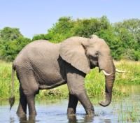 Uganda Game Tracker Tours 2017 - 2018 -  The Mighty Elephant