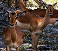 Tanzania Signature Safari and Beach Tours 2018 - 2019 -  Impala