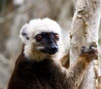 Madagascar Signature - Lemurs, Landscapes and Beach Tours 2017 - 2018 -  Indri lemur