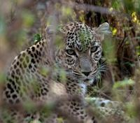 Safari and Sand Tours 2019 - 2020 -  Leopard