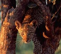 Zimbabwe Game Tracker - The Road Less Travelled Tours 2017 - 2018 -  Leopard in Hwange