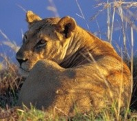 Tanzania Highlights Tours 2017 - 2018 -  Lioness