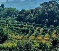 Treasures of Tuscany Tours 2019 - 2020 -  Olive Grove