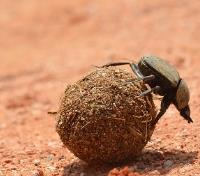 Best of Zimbabwe  Tours 2019 - 2020 -  Dung Beetle