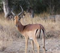 Victoria Falls to the Okavango Delta Tours 2019 - 2020 -  Impala