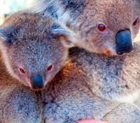 Australia's Coast & The Whitsunday Islands Tours 2020 - 2021 -  Koalas