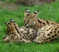 Best of Rwanda  in Style Tours 2020 - 2021 -  Serval Cats
