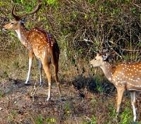 Authentic Sri Lanka: Wildlife & Locals Tours 2018 - 2019 -  Spotted Deer