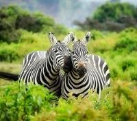 Kruger, Vic Falls & Hwange Safari Highlights Tours 2019 - 2020 -  Zebras