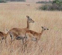 Uganda Game Tracker Tours 2017 - 2018 -  Grazing Antelope