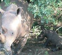 Uganda Game Tracker Tours 2017 - 2018 -  Rhino Tracking