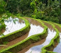 Blissful Bali Tours 2017 - 2018 -  Jatiluwih Rice Field