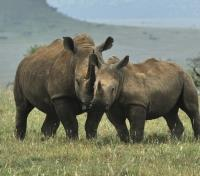 Kenya Highlights Tours 2017 - 2018 -  Black Rhino