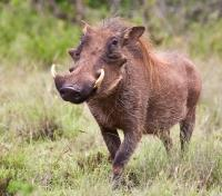 Cape Town, Winelands & Safari  Tours 2020 - 2021 -  Warthog