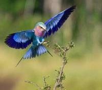 Kenya Active Adventure Tours 2019 - 2020 -  Lilac-Breasted Roller