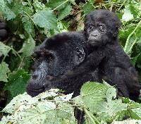 Bwindi Tours 2017 - 2018 - Mother & Baby Gorilla