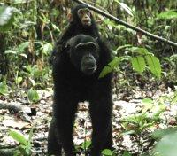 Gombe Tours 2017 - 2018 - Chimpanzee Viewing