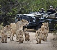 Sabi Sands Tours 2017 - 2018 - Guests Viewing Lionesses and Cubs