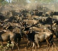Serengeti Tours 2017 - 2018 - Wilderbeest Migration