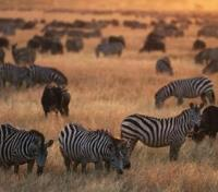 Serengeti Tours 2017 - 2018 -  Wildlife-Zebra