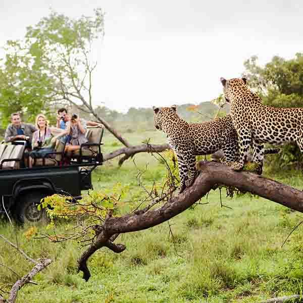 2 Leopards in a Tree