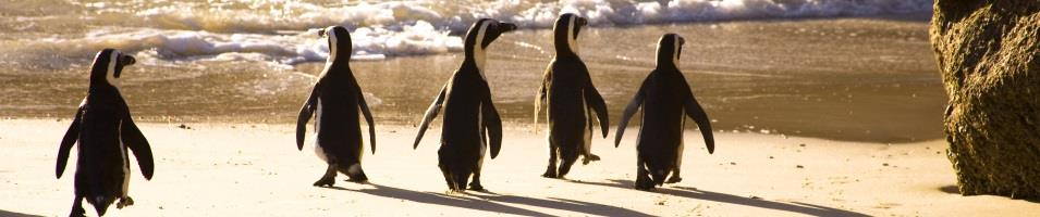 South African Grand Journey Tours 2018 - 2019 -  Boulder Beach, Cape Town - March of the Penguins