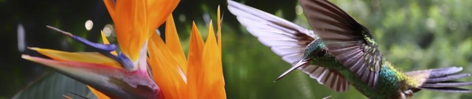 Costa Rica Eco-Luxury Adventure Tours 2017 - 2018 -  Costa Rica Hummingbird and Flower