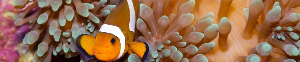 Australia Family Adventure Tours 2017 - 2018 -  Great Barrier Reef - Clown Fish