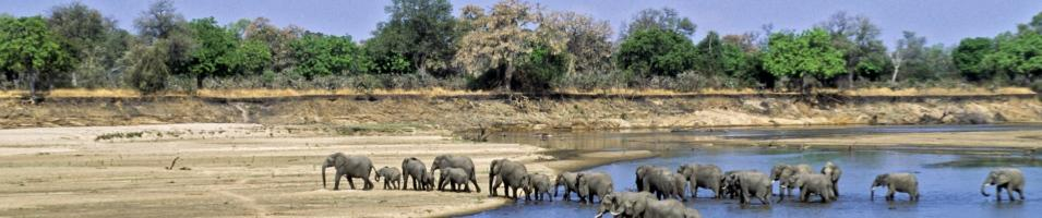 Africa By Foot Tours 2018 - 2019 -  Elephants crossing the Luangwa River