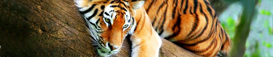 Ganges, Tigers & Taj Signature Tours 2018 - 2019 -  Tiger
