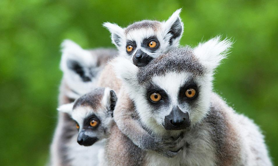 Lemurs are just one of the wild and fascinating creatures you'll discover on a tour of Madagascar.