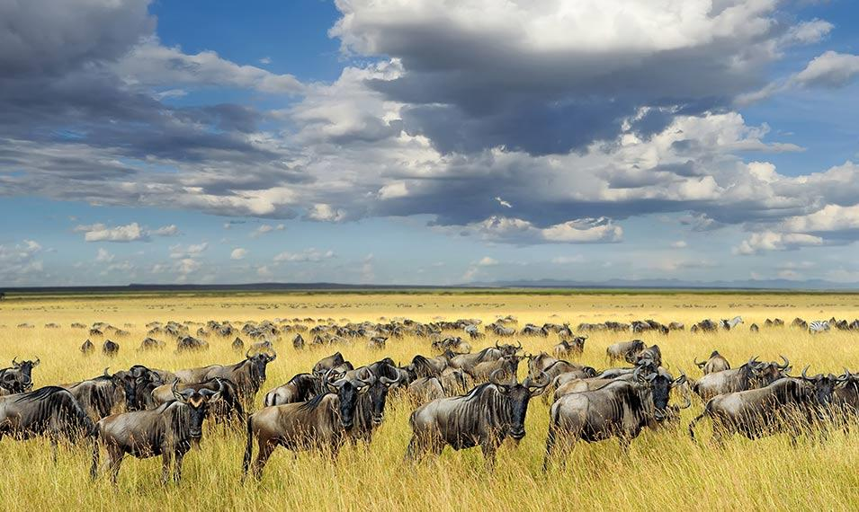 The Great Migration, the greatest show on earth. Safari in Kenya & Tanzania.