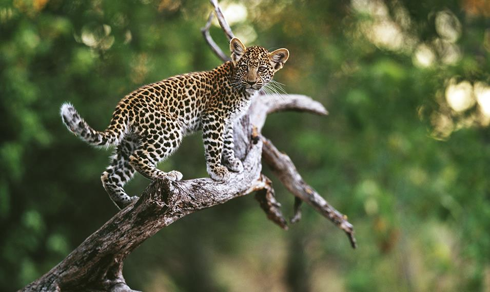 Search for elusive leopards in the Okavango Delta.