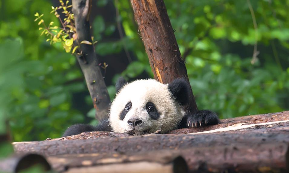 Visit the pandas of the Panda Research Centre in Chengdu.