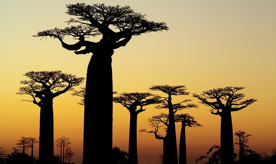 See the infamous Avenue of the Baobabs.