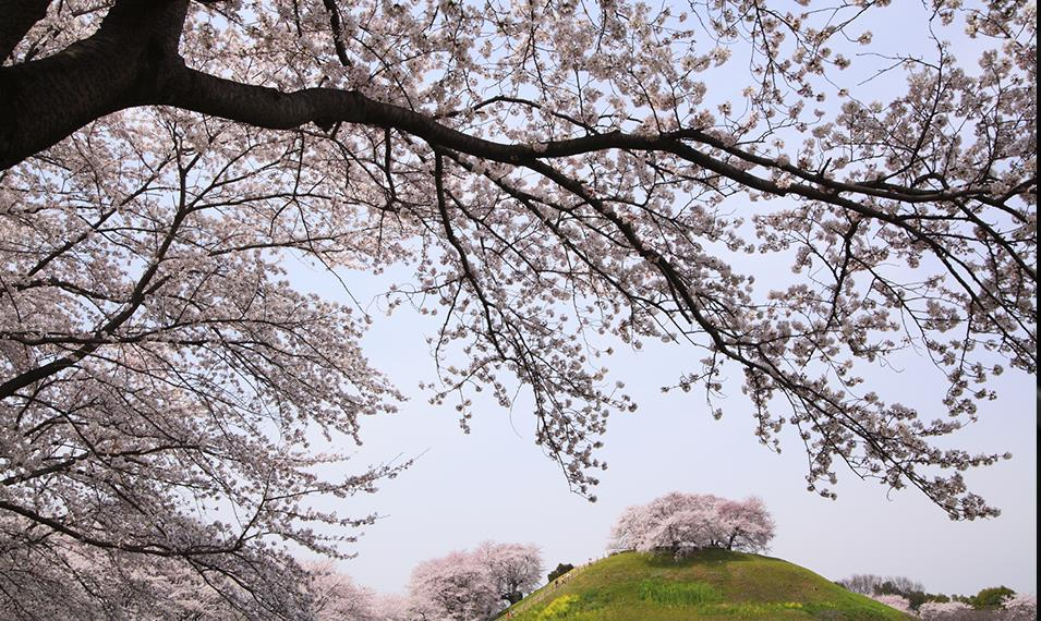 Experience Japan's Cherry Blossom Season.