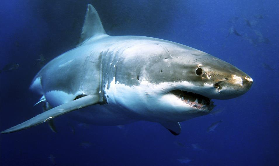 Go cage diving with Great White Sharks on the coast.