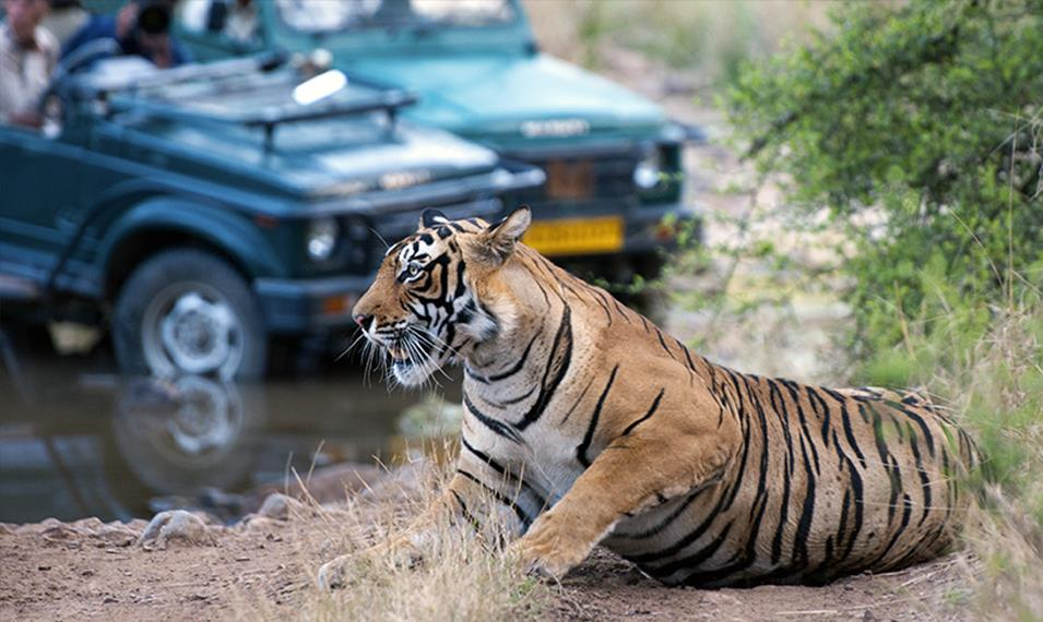 Spot tigers on safari in one of the many National Parks.