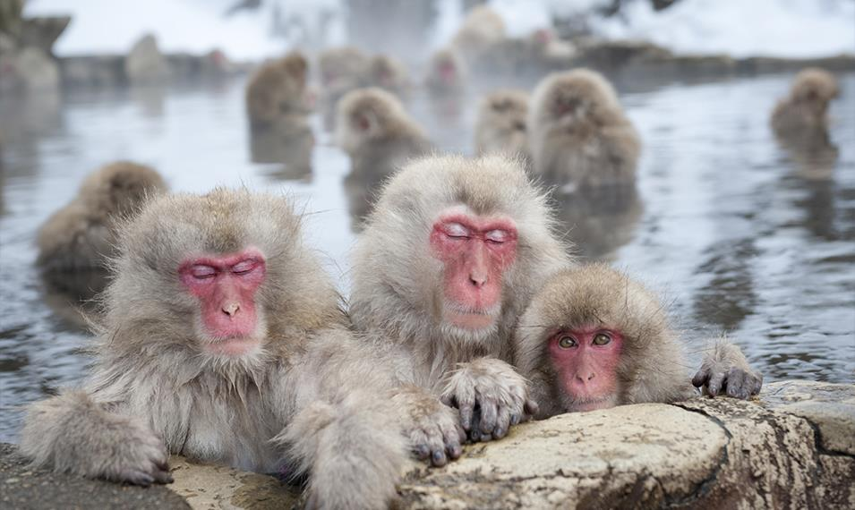 Meet some of Japan's famous snow monkeys in the Onsen Hot Springs.