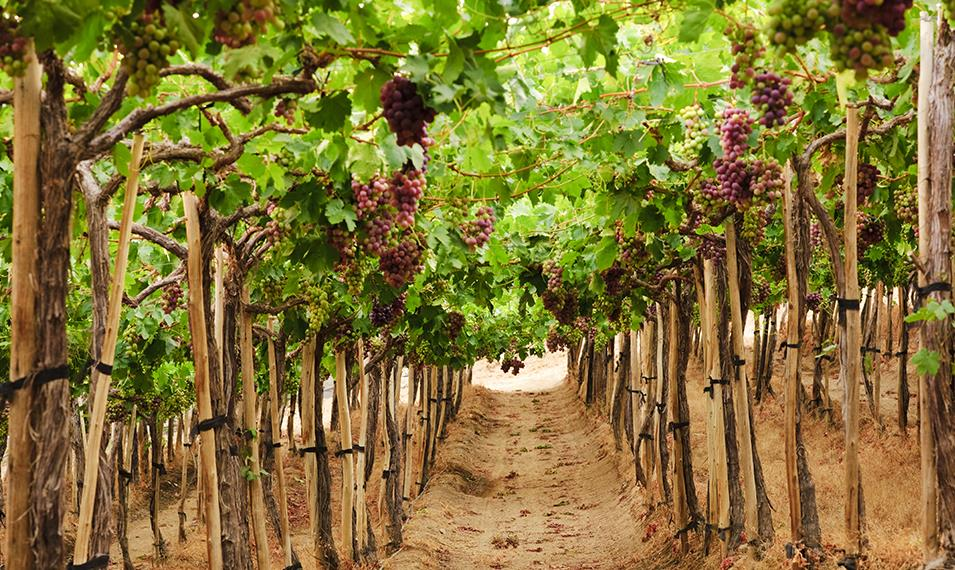 Sip fine wines in organic vineyards in the San Antonio Valley.