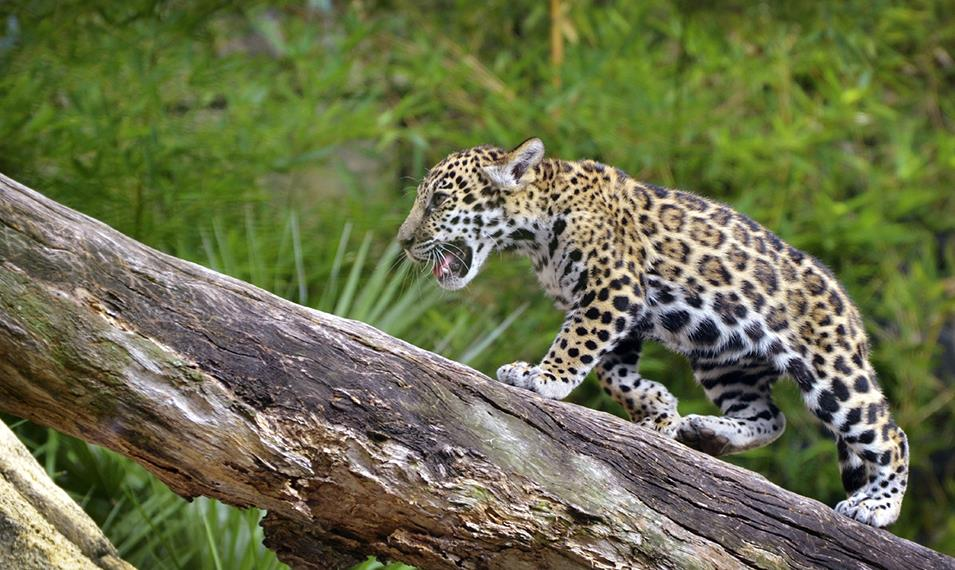 Search for jaguars in the Peruvian wild.