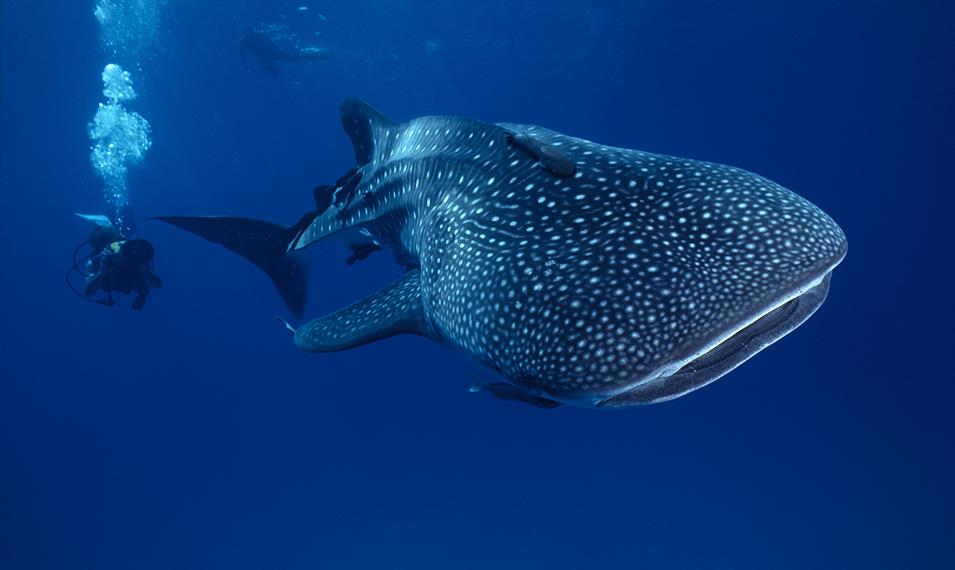 Snorkel or scuba dive with gentle whale sharks and sting rays.