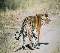 Jungles of India: In Kipling's Footsteps Tours 2019 - 2020 -  Kanha