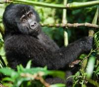 Uganda Highlights Tours 2019 - 2020 -  Uganda Mountain Gorilla