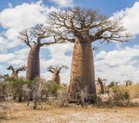 Baobabs and Tsingy Explorer Tours 2018 - 2019 -  Baobab Tree