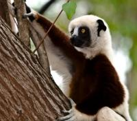 Madagascar Signature - Lemurs, Landscapes and Beach Tours 2017 - 2018 -  Lemur