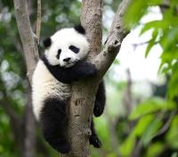China & Tibet Highlights Tours 2019 - 2020 -  Panda