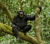 Uganda Highlights Tours 2019 - 2020 -  Uganda Chimpazee in the Forest Trees