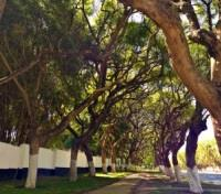 Africa By Foot Tours 2017 - 2018 -  Zambia Mature Tree's Lining the Avenues of Lusaka